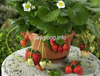 dâu tây strawberry