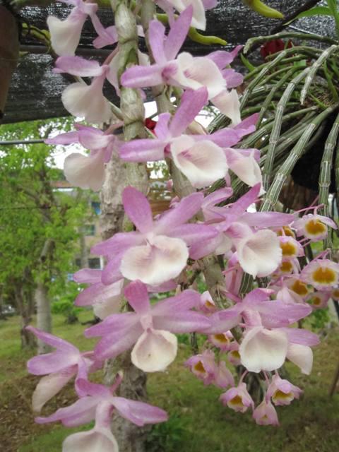 hoa hoàng thảo vôi