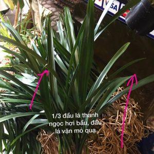 Cây Địa lan thanh ngọc khỏe khoắn dễ trồng