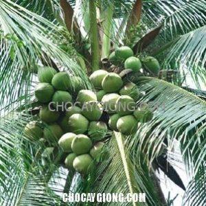 cây dừa đang ra trái