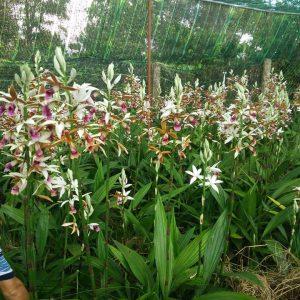 Lan hạc đỉnh có hoa đẹp mùi thơm nhẹ