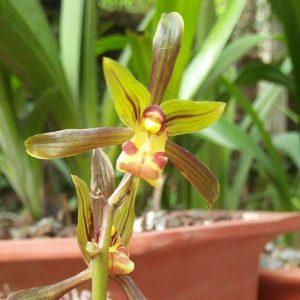 Hoa đặc trưng của địa lan mạc xuân