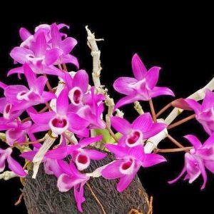 phong lan trầm tím